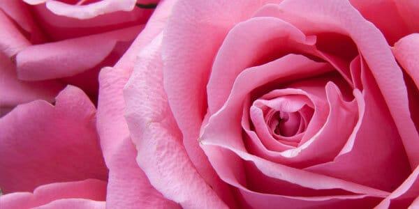 Rose PAF
